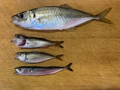 2021年5月9日 北条湾釣行 釣れた魚種