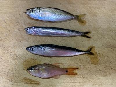 2021年5月16日 北条湾釣行 釣れた魚種