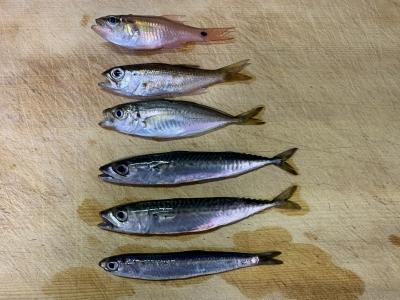 2021年5月30日 北条湾釣行 釣れた魚種