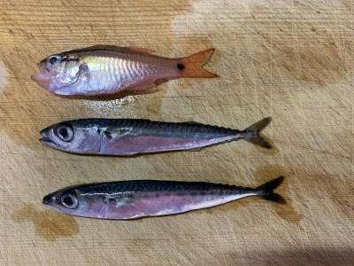 2021年6月6日 北条湾釣行 釣れた魚種