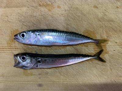 2021年6月13日 北条湾釣行 釣れた魚種