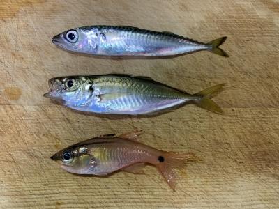 2021年6月20日 北条湾釣行 釣れた魚種