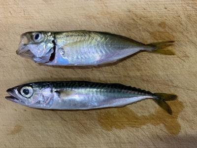 2021年6月27日 北条湾釣行 釣れた魚種