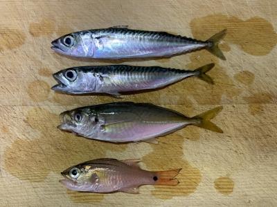 2021年7月4日 北条湾釣行 釣れた魚種