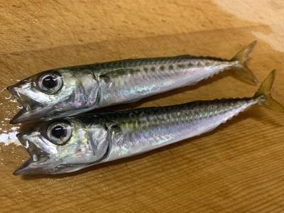 2021年7月11日 北条湾釣行 釣れた魚種