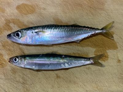 2021年8月1日 北条湾釣行 釣れた魚種