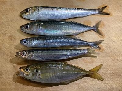 2021年8月9日 北条湾釣行 釣れた魚種