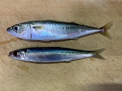 2021年8月15日 北条湾釣行 釣れた魚種