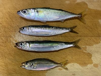 2021年8月22日 北条湾釣行 釣れた魚種
