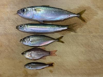 2021年8月29日 北条湾釣行 釣れた魚種