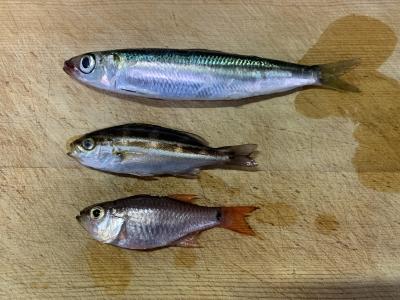 2021年9月5日 北条湾釣行 釣れた魚種