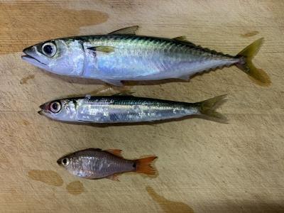 2021年9月12日 北条湾釣行 釣れた魚種