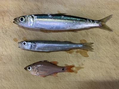 2021年9月23日 北条湾釣行 釣れた魚種