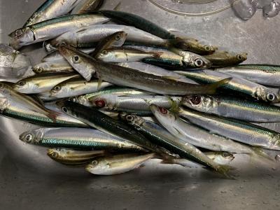 2021年9月26日 北条湾釣行 釣果