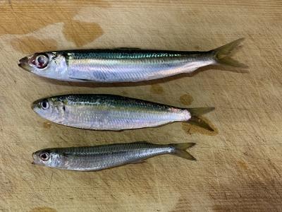 2021年10月3日 北条湾釣行 釣れた魚種