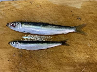 2021年10月3日 北条湾釣行 ウルメイワシの体格差