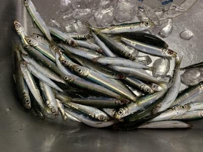 2021年10月9日 北条湾釣行 釣果