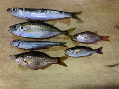 2021年10月17日 北条湾釣行 釣れた中で持ち帰った魚種
