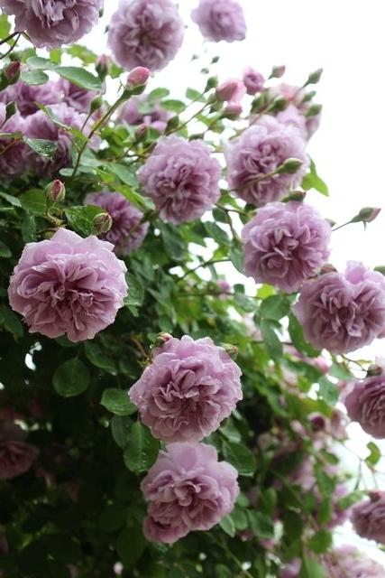 バラのウィーピング~今年も唄います。