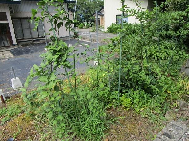 庭のシオデ1