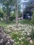令和3年6月沙羅の木