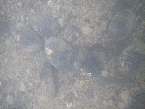 貝の水中撮影1