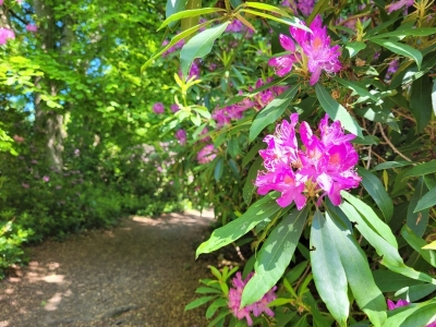 howthrhododendron05213