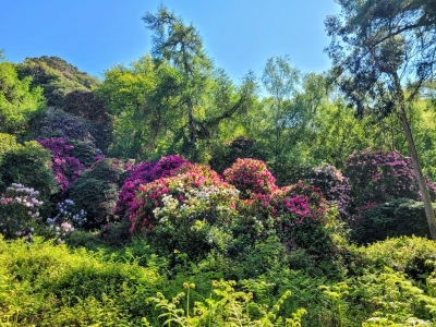 howthrhododendron05214