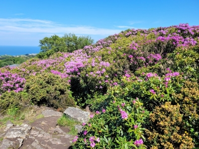 howthrhododendron05217