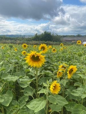 sunflowersSwansSunflowerFarm
