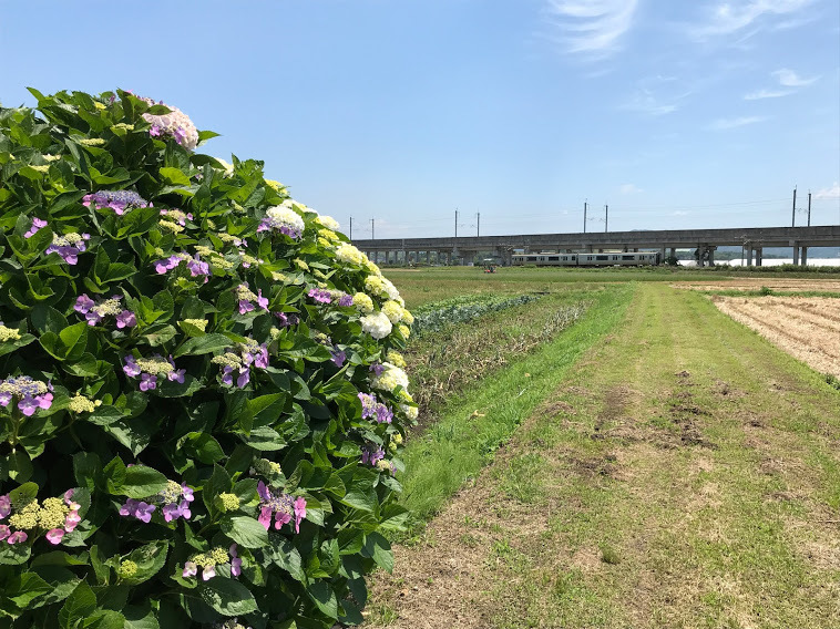 紫陽花と817系