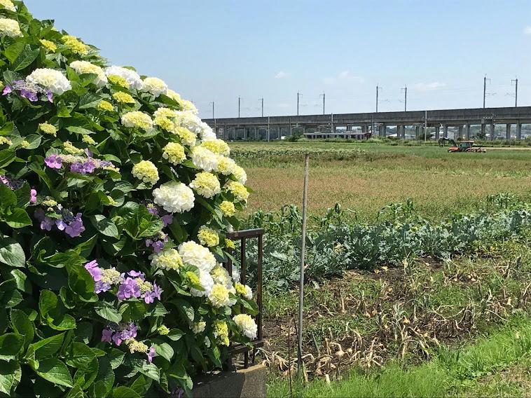 紫陽花と815系