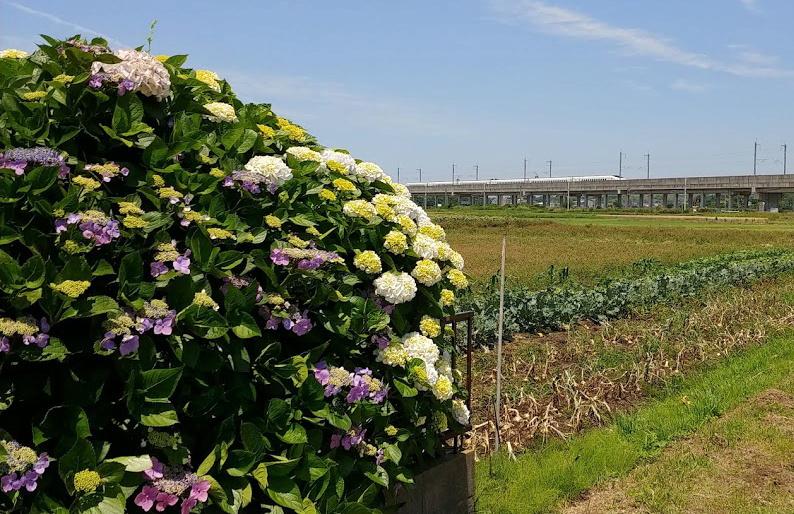 紫陽花と九州新幹線