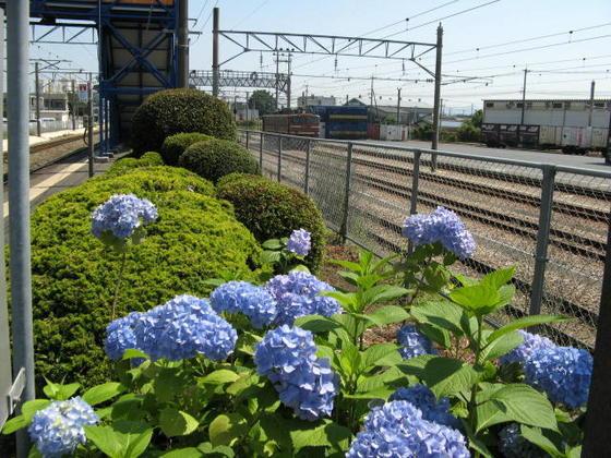 紫陽花と貨物