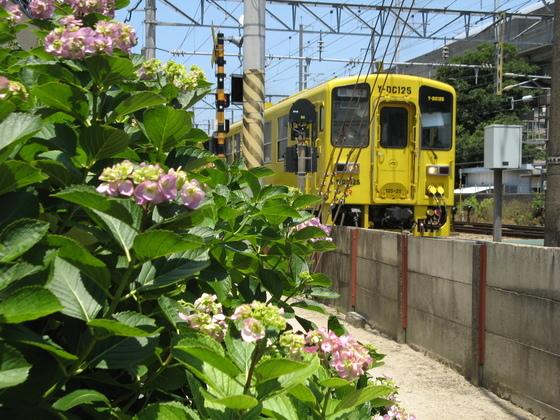 紫陽花と電車