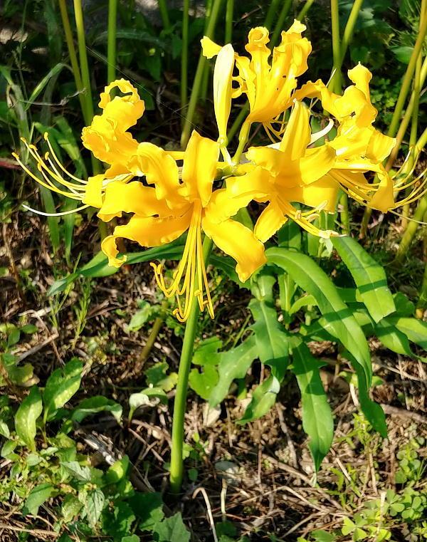 higanbana-yellow.jpg