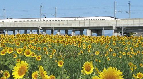 ひまわりと新幹線800系