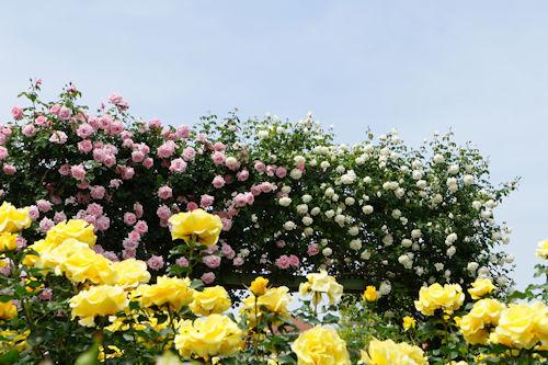 20210514京成ばら園黄色×ピンク