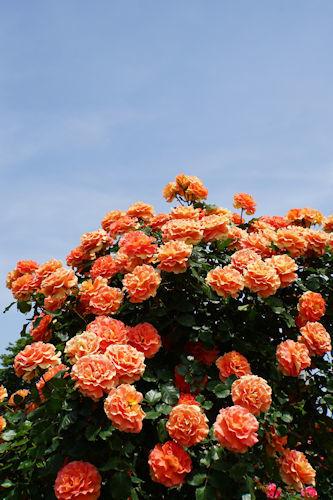 20210514京成ばら園オレンジ