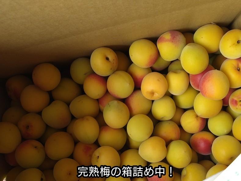 完熟梅の箱詰め中
