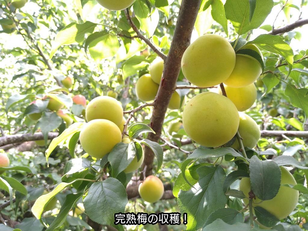 完熟梅の収穫