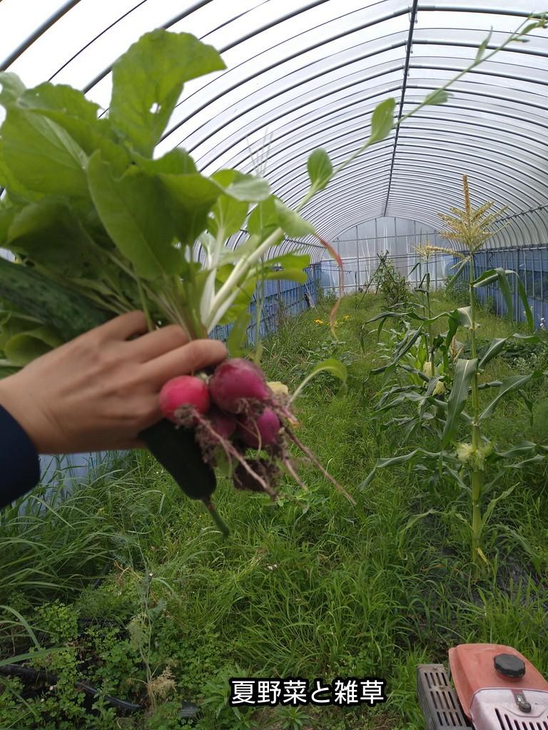 夏野菜も雑草
