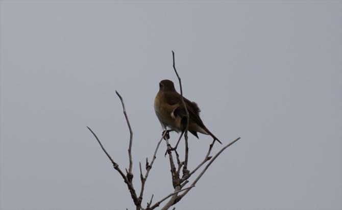 利尻野鳥1