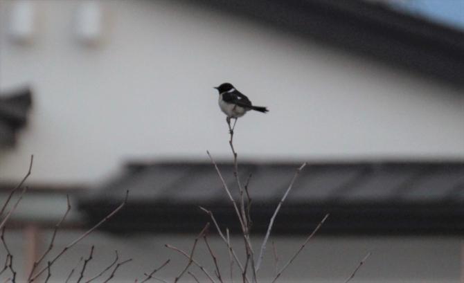 利尻野鳥6