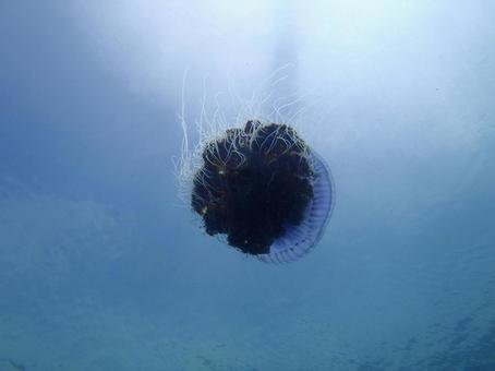 jellyfish2353342.jpg