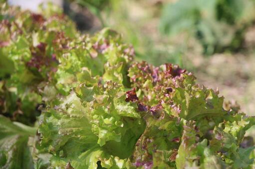 lettuce32523.jpg
