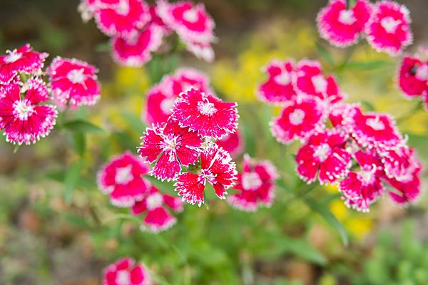 花壇のナデシコ