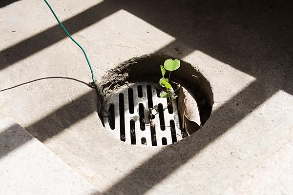 排水溝の芽