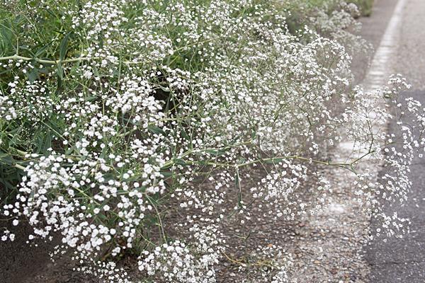 道ばたの白い花