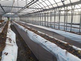 【写真】イチゴの株を片付けた本圃ハウスの様子